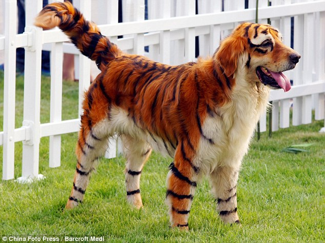 Dog dyed to look like Tiger